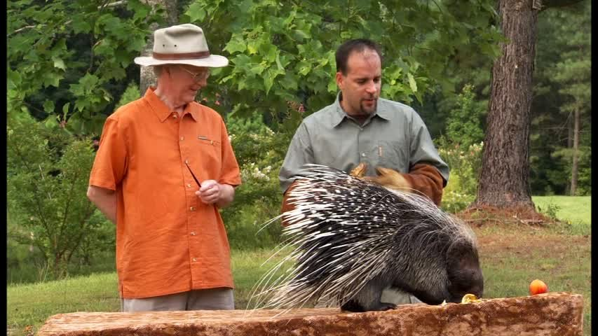 Prickles, the African Crested Porcupine