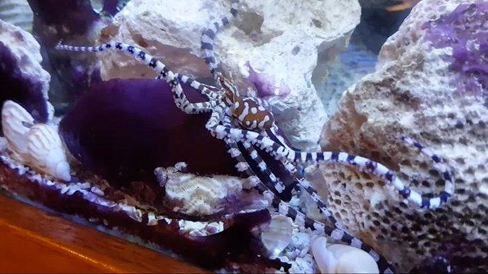 Calvin Smith Blog: Mimic Octopus Video