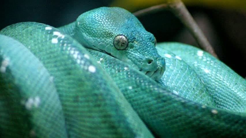 Boa Constrictors and Pythons