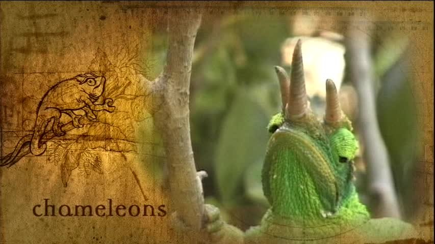 Creation Museum Collection: Life: Chameleons