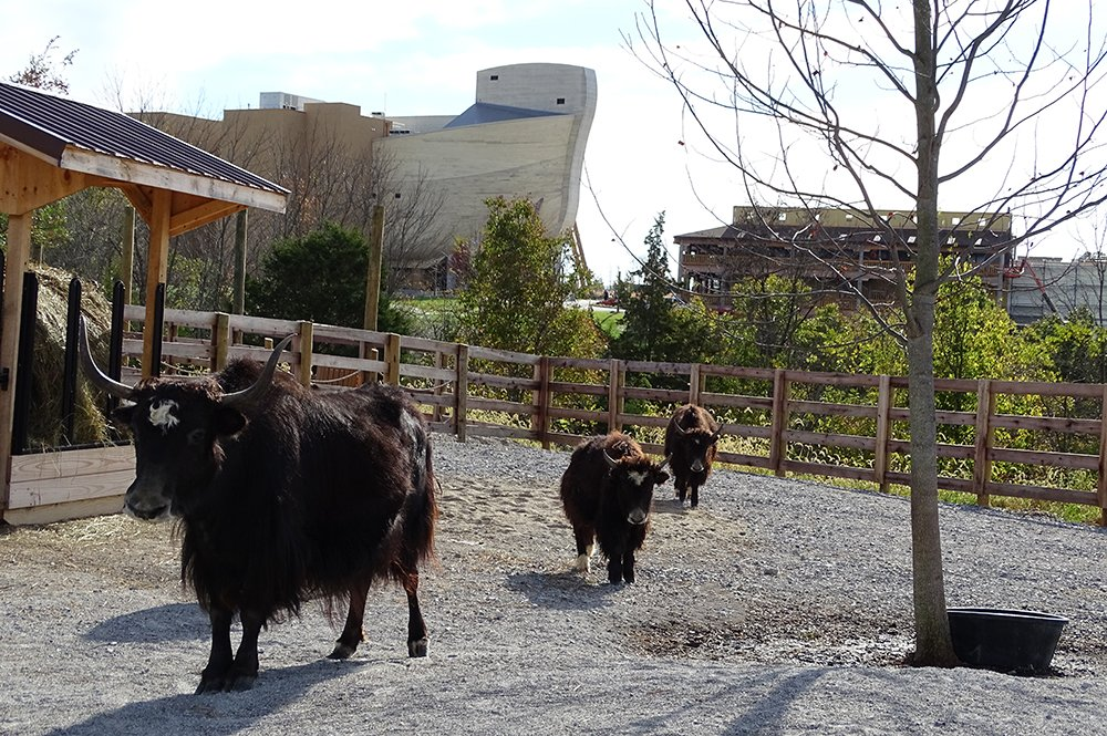 Yaks with Ark Encounter