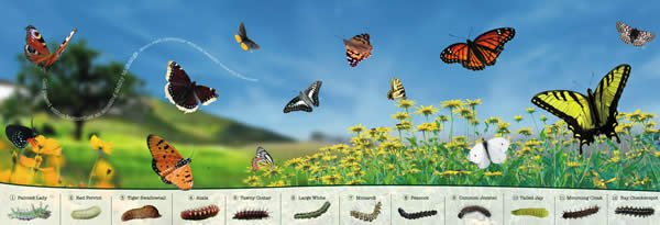 Pull-out butterfly poster